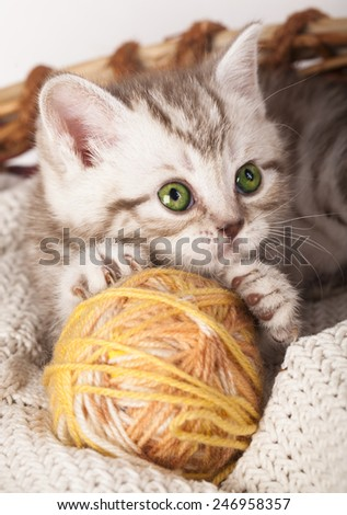 Scottish young kitten playing red clew or ball - stock photo