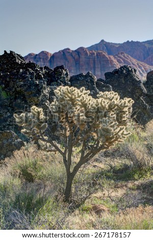 Scraggly bush at sunset with red rock canyon walls in background -  Snow Canyon Utah - stock photo