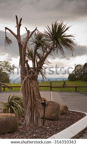 scraggy wind-blown cabbage or ti tree, Gisborne, East Coast, North Island, New Zealand  - stock photo