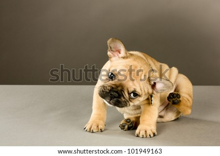 Scratching Puppy: Sweet six week old French bulldog puppy, brown with black points, wearing a collar and looking at the camera, scratches his ear Indoor studio shot with gray brown background - stock photo