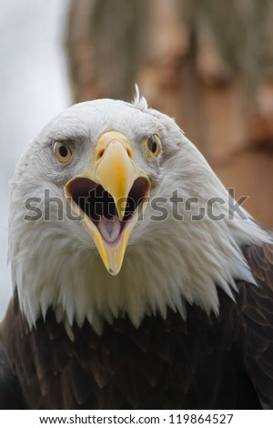 screaming bald eagle - stock photo
