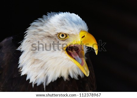 Screaming Bald eagle on a dark background - stock photo