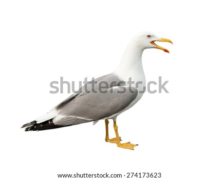 screaming seagull, isolated on white background - stock photo