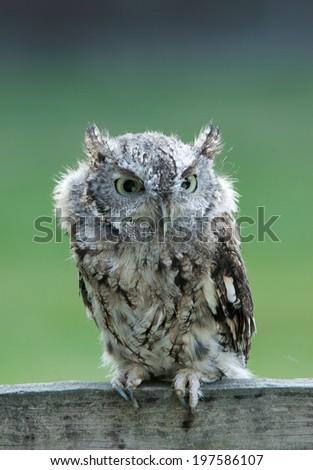 Screech owl gray phase - stock photo