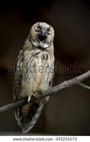 Screech-owl portrait. Closeup shot in nature scenics - stock photo