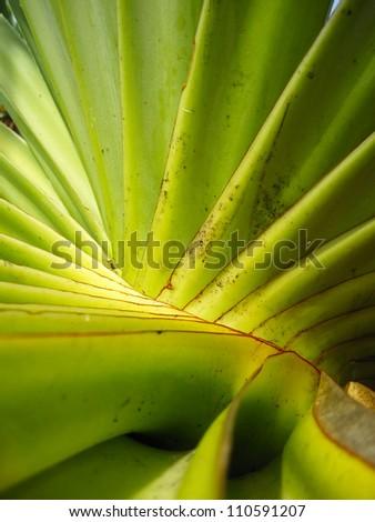 Screw Palm (Pandanus spiralis), native the Northern Territory, Australia - stock photo