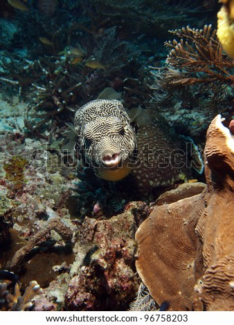 Scribbled Arothron Puffer fish (Arthron mappa) front face, underwater in Indo-Pacific Ocean, Indonesia. - stock photo