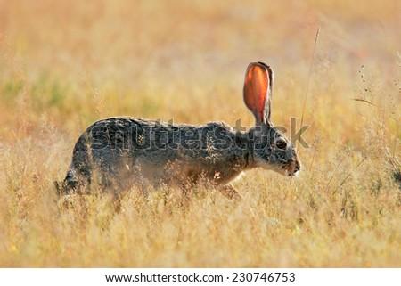 Scrub hare (Lepus saxatilis) among grass, Etosha National Park, Namibia - stock photo
