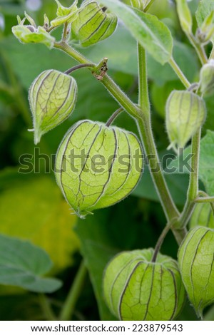Scrub with green Inca berries/cape gooseberry/fruits - stock photo