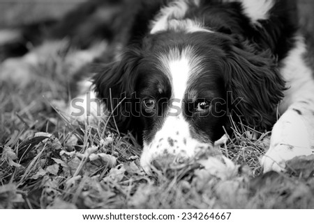 Scruffy Dog Laying Down - This is a cute, scruffy dog laying down in the grass and leaves. Shot with a shallow depth of field. - stock photo