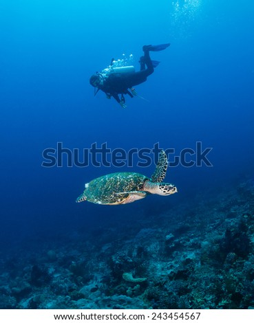 SCUBA diver and a sea turtle swim alongside on a tropical coral reef - stock photo