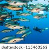 SCUBA Diver in the middle of a large school of snapper in deep water - stock photo