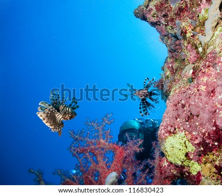 Scuba Diver observes a Lionfish on a coral reef in the Red Sea - stock photo