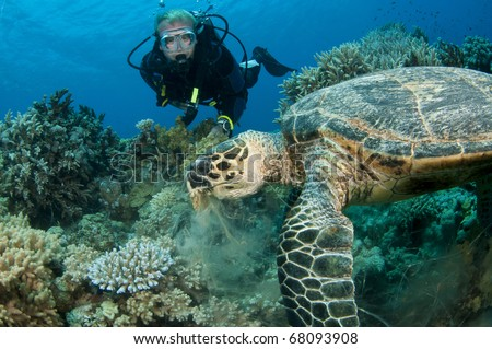scuba diver swims with Turtle - stock photo