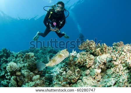 scuba diver with porcupinefish on a coral reef - stock photo