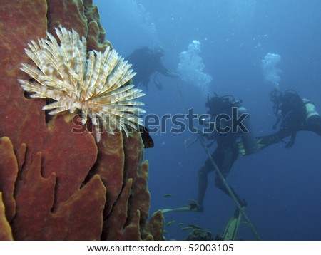 Scuba divers ascend beyond a sponge covered wall with a tube worm on the island of Dominica - stock photo