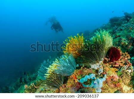 SCUBA divers near colorful feather stars on a tropical coral reef - stock photo