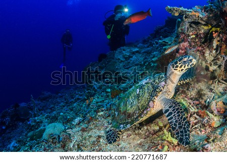 SCUBA divers photograph a feeding Hawksbill Turtle on a tropical coral reef - stock photo