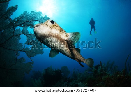 Scuba diving in the Caribbean, diver silhouette swimming next to a porcupine fish and fan coral Riviera Maya, Mexico - stock photo