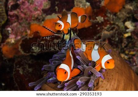 scuba diving lembeh  Indonesia Anemonefish underwater - stock photo