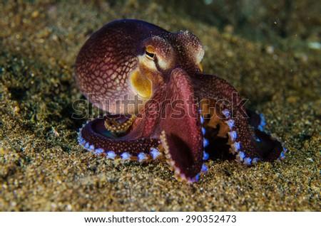 scuba diving octopus lembeh strait indonesia underwater - stock photo