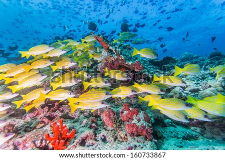 scuba diving with group of Bluestripe snapper - stock photo