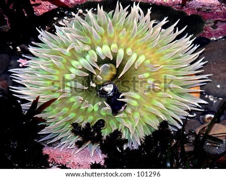 Sea anemone Half Moon Bay, California - stock photo