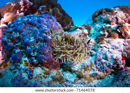 Sea Anemone with purple coral. - stock photo