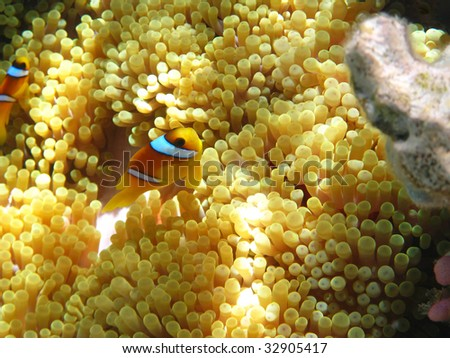 Sea anemones and two-banded clownfish - stock photo