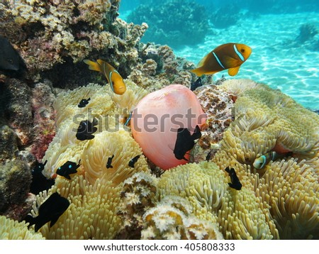 Sea anemones with tropical fish orange-fin anemonefish and damselfish, underwater in the lagoon of Moorea, Pacific ocean, French Polynesia - stock photo