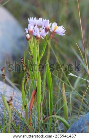 Sea aster, Tripolium vulgare - stock photo