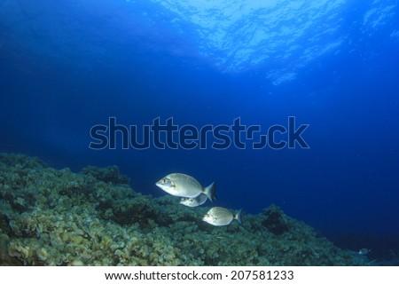 Sea Bream Fish underwater - stock photo