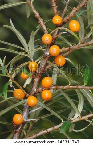 Sea Buckthorn berries (Hippophae rhamnoides) in Pembrey, South Wales - stock photo
