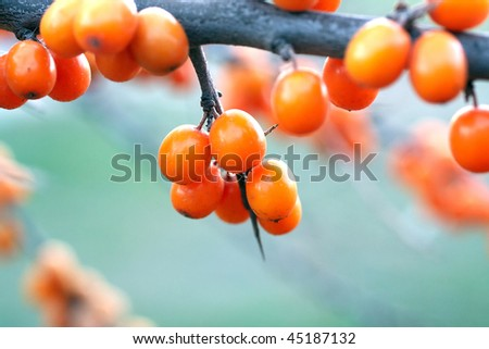 Sea-buckthorn berries in the autumn. Close-up, shallow depth of field. - stock photo