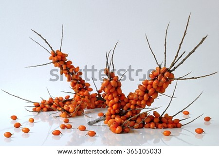Sea buckthorn branches with orange berries. Hippophae rhamnoides  common names sea-buckthorn, seaberry or loganberry. Autumn harvest healthy sea buckthorn berries from a home garden. Superfood. - stock photo