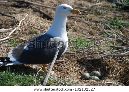 Sea Gull and Nest - stock photo