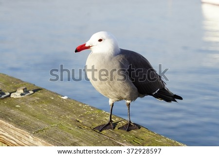 Sea gull bird by the waterfront in San Francisco - stock photo