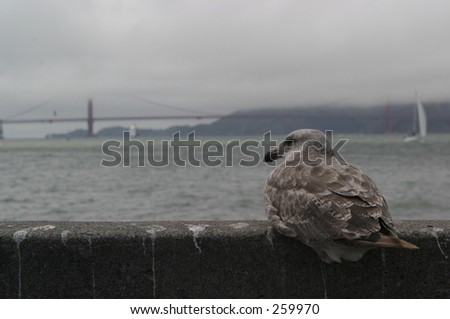 Sea Gull in the San Fransisco Bay - stock photo