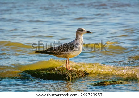 Sea Gull on the Stone in the Sea - stock photo