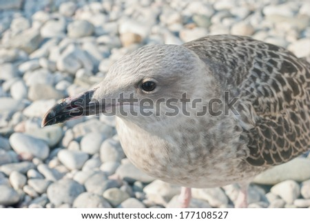 Sea Gull perched against nice background - stock photo
