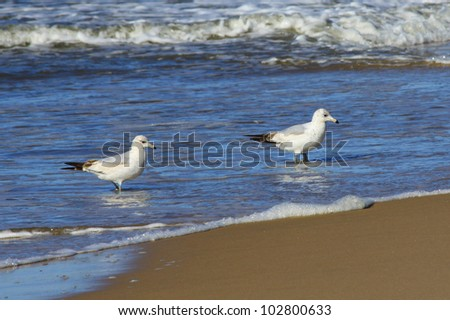 Sea gulls on beach at Montauk Point, eastern tip of Long Island, New York, Suffolk County, ocean waves in background - stock photo