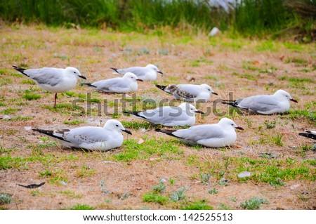Sea gulls resting on the shore. - stock photo