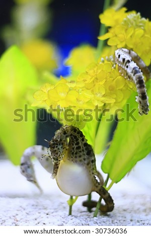 Sea horse also known as hippocampus. It was taken at hakkejima's aquarium which in Japan. - stock photo