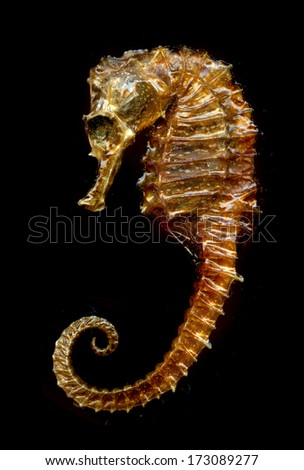sea horse dried - stock photo