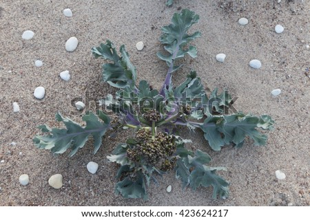 Sea kale (Crambe maritima) at beach, from above and very shallow DOF. Focus at flowering buds. Photographed at Baltic coast, Haldi, Estonia. - stock photo