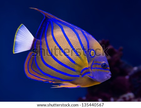 Sea life: exotic tropical coral reef bluering angelfish (Pomacanthus Annularis) on natural blue background - stock photo
