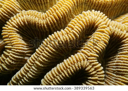Sea life, ridges of boulder brain coral, Colpophyllia natans, close-up, Caribbean sea - stock photo