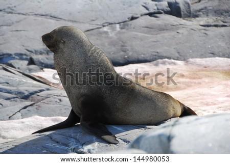 Sea lion in Antarctica - stock photo