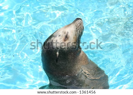 sea lion in the water - stock photo