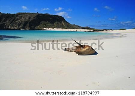 Sea Lion on a Beach, Galapagos islands, Ecuador, South America - stock photo